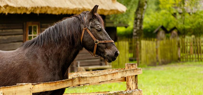 Koń Ignac – najstarszy mieszkaniec skansenu